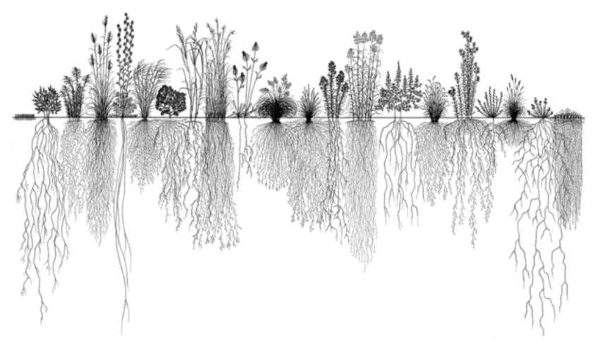 ideal for bioinfiltration cells for water quantity control. Figure 3 Root Systems of Prairie Plants as