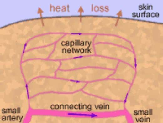 Blood capillary http://www.schoolscience.co.uk/content/4/biology/abpi/skin/skin4.html