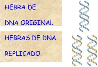 HEBRA DE DNA ORIGINAL HEBRAS DE DNA REPLICADO