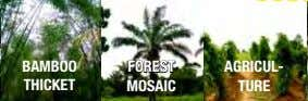 BAMBOO FOREST AGRICUL- THICKET MOSAIC TURE