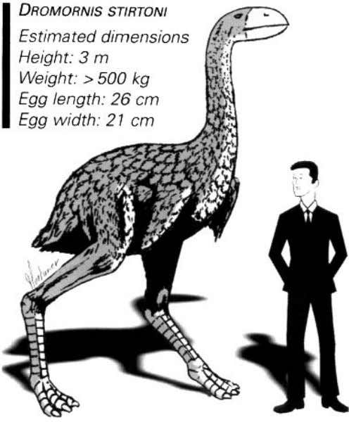 DROMORNIS STIRTONI Estimated dimensions Height: 3 m Weight: > 500 kg Egg length: 26 cm