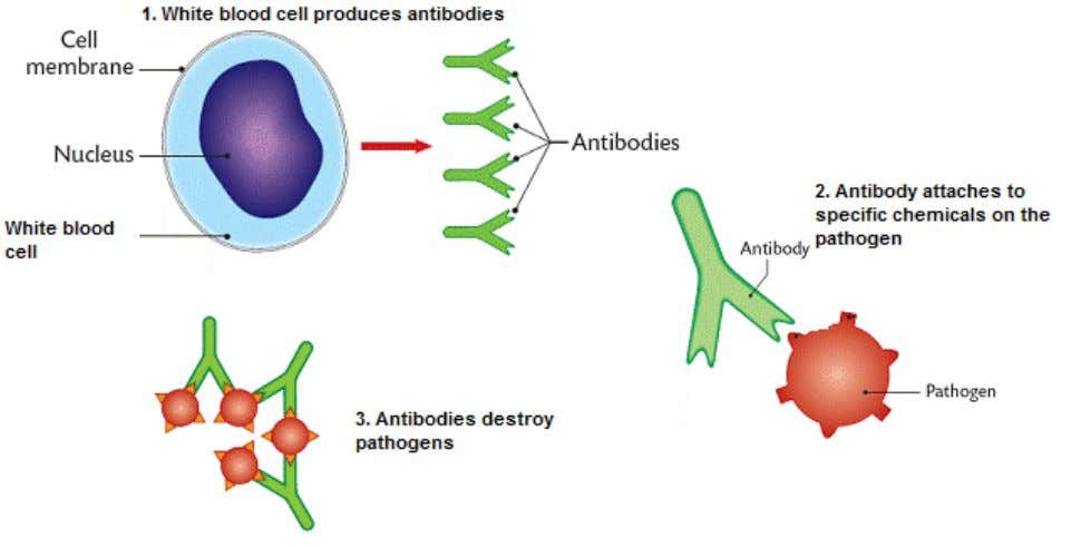 In some cases, dead or inactivated pathogens stimulate antibody production. o This also leads to immunity.