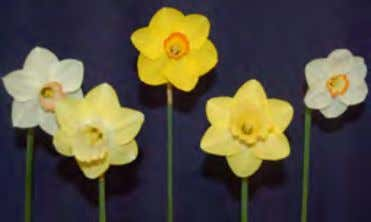 al Daffodil Show NUMBER OF HORTICULTURE EXHIBITORS: 108 NUMBER OF HORTICULTURE STEMS: 2,130 NUMBER OF ARTISTIC
