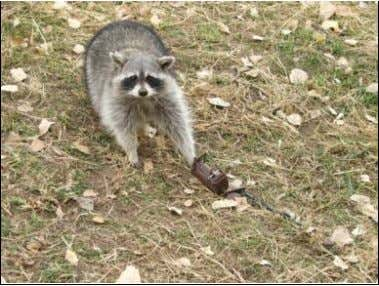 8. The '642 patent is directed towards a hu mane, live-capture raccoon trap having a push-pull