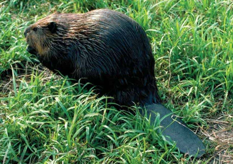 implications of your food consumption patterns? Figure 1.9: Primary consumers, such as beavers, feed on