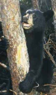Figure 1.6: Black Bear. Photo courtesy Dept. Environment & Conservation Abiotic factors can be organized