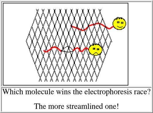 Which molecule wins the electrophoresis race? The more streamlined one!