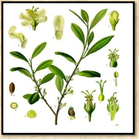 these leaves. Khoka, which meant the plant, quickly became known as coca in Europe. In 1860,