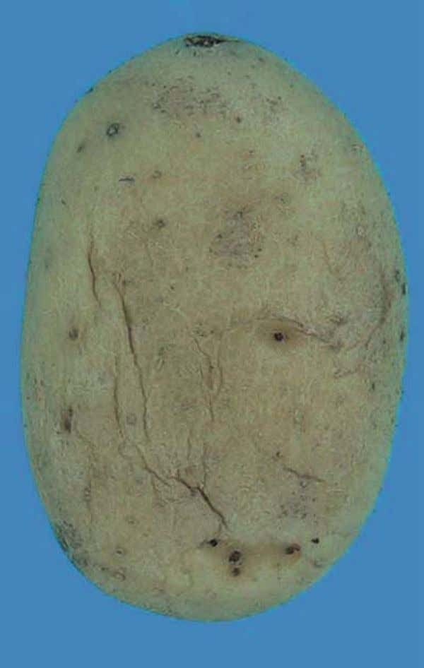 "requirement "" firm "" - Shrivelled tuber - Not allowed photo 14 : Caractéristique minimale """