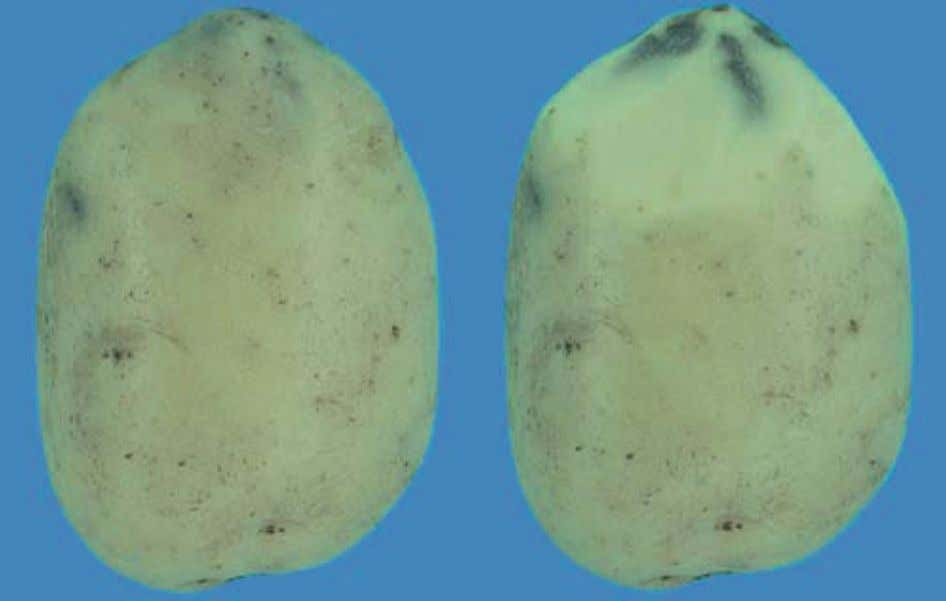 exceeding 5 mm in depth for ware potatoes - Not allowed photo 32 : Caractéristique minimale