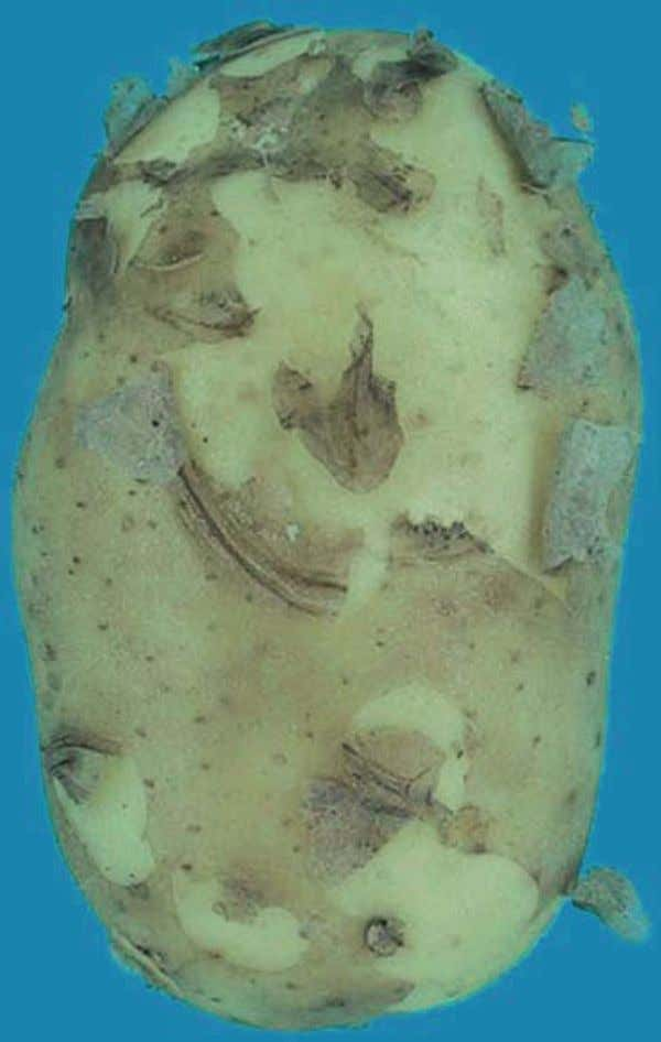 absence of the skin in the case of early potatoes - Allowed photo 47 : Caractéristique