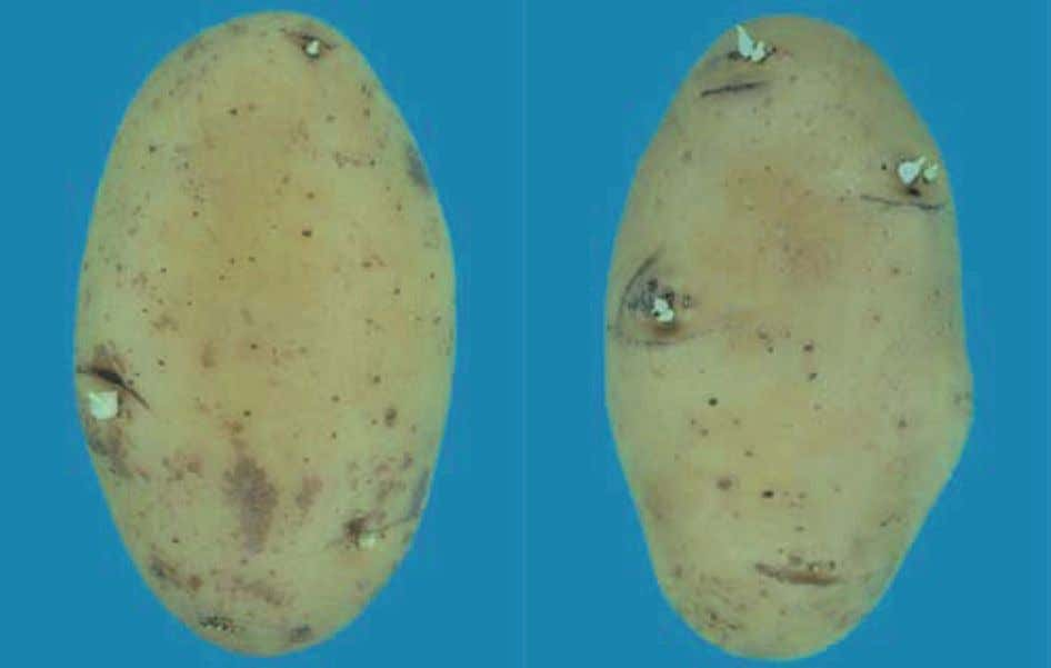 - Sprouted potatoes; sprouts exceeding 3 mm - Not allowed photo 48 : Caractéristique minimale -