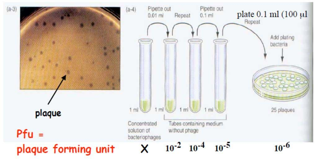 per unit volume…you will have to dilute the initial lysate before you plate on E.coli B