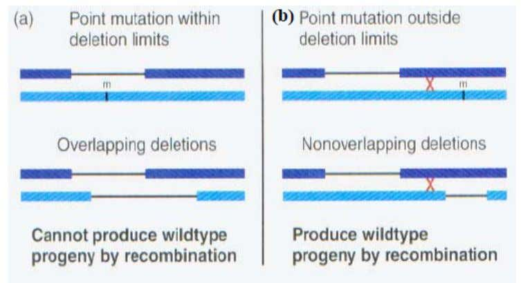 can occur between… a)   two deletion mutations or b)   between a point mutation and