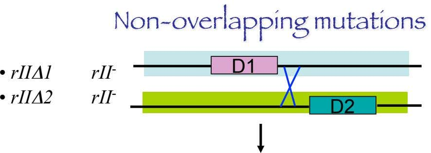 Non-overlapping mutations D1 •   rIIΔ1 •   rIIΔ2 rII - rII - D2