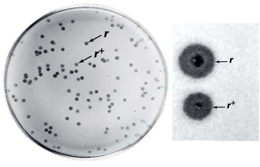 (r) mutants produce large plaques with sharp margins. (rapid lysis mutant) (wildtype) -When E.coli are infected
