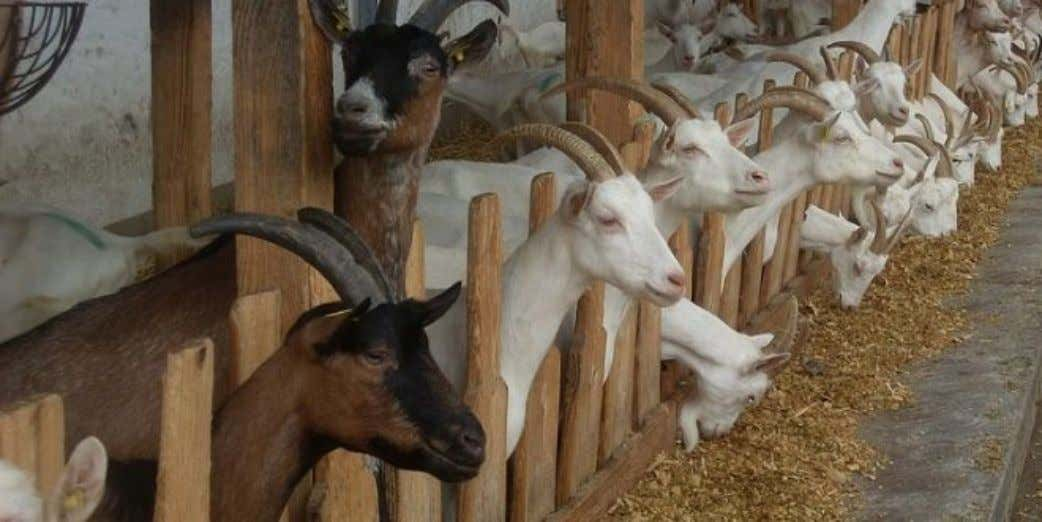 To View PDF - Download Here free.quickpdfmerger.com Goat Farming Cost. G oat Farming Cost and Profit