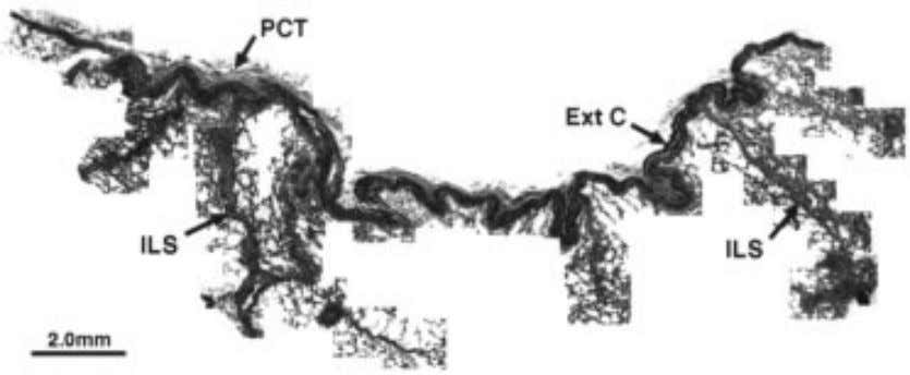 et al . / Respiration Physiology 109 (1997) 177–194 181 Fig. 3. Elephant lung, superficial relationships