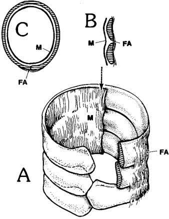 vessel (lo- cated within an adjacent intralung septum) and Fig. 5. Segement of elephant trachea taken