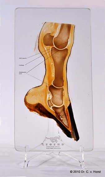 In addition to actual tissue plastinates, as shown on these pages, framed prints and posters of