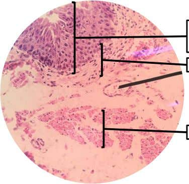 B. LOWER ESOPHAGUS LE: Stratified Squamous Non-keratinized Epithelium Lamina Propia Muscularis Mucosa Figure 8. Actual