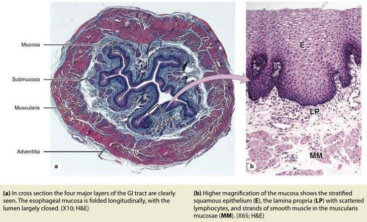 ESOPHAGUS Source: Junqeira's Histology, Text, and Atlas, 14th Ed.