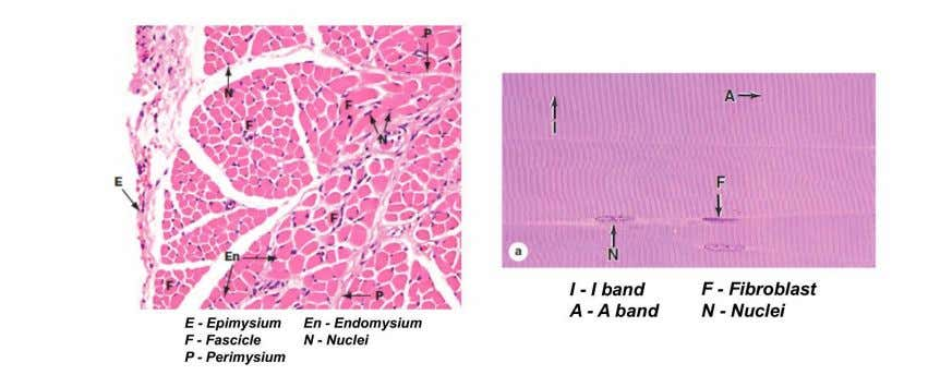 RECALL: SKELETAL MUSCLE NOTE: The Upper Third Segment of the Esophagus is Skeletal Muscle