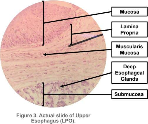 Mucosa Lamina Propria Muscularis Mucosa Deep Esophageal Glands Submucosa Figure 3. Actual slide of Upper