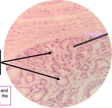 A. UPPER ESOPHAGUS Deep Esophageal Glands/ Esophageal Glands Proper Note: Muscularis Externa and Adventitia is not