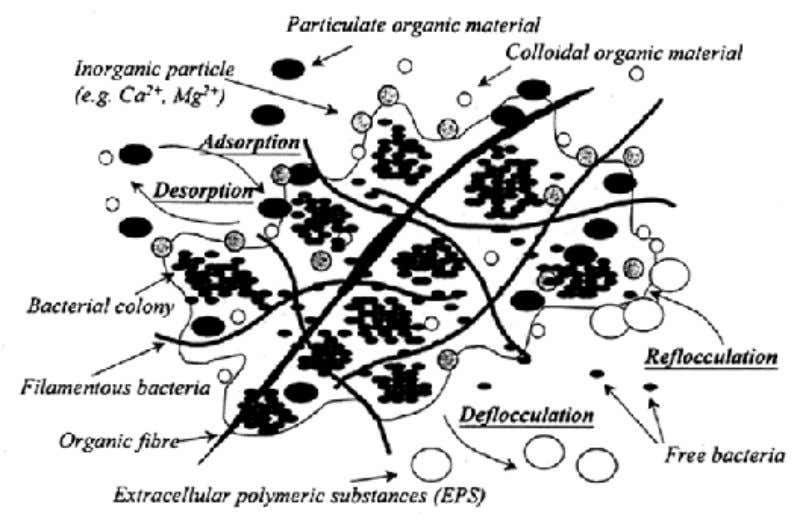 descrip tion of an activated sludge floc (Figure 2). Figure 2. Schematic drawing of an activated