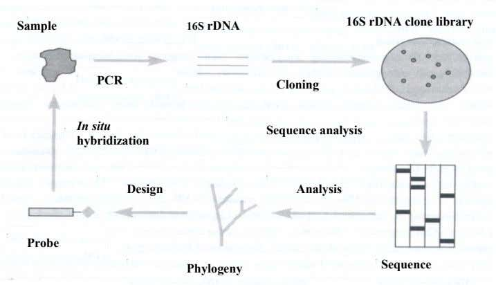 16S rDNA clone library Sample 16S rDNA PCR Cloning In situ Sequence analysis hybridization Design