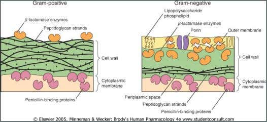 Structure of the Bacterial Cell Wall 13