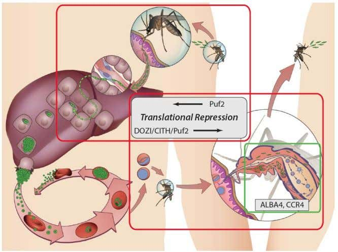 Plasmodium has a Complex Life Cycle Original Image By: Maria Mota