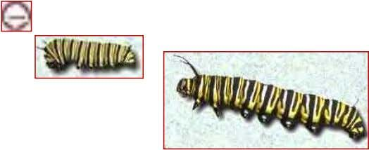 emerged, mid-way through larval stage, and final size larva. Monarch lifecycle, continued…. Larvae to pupae sequence