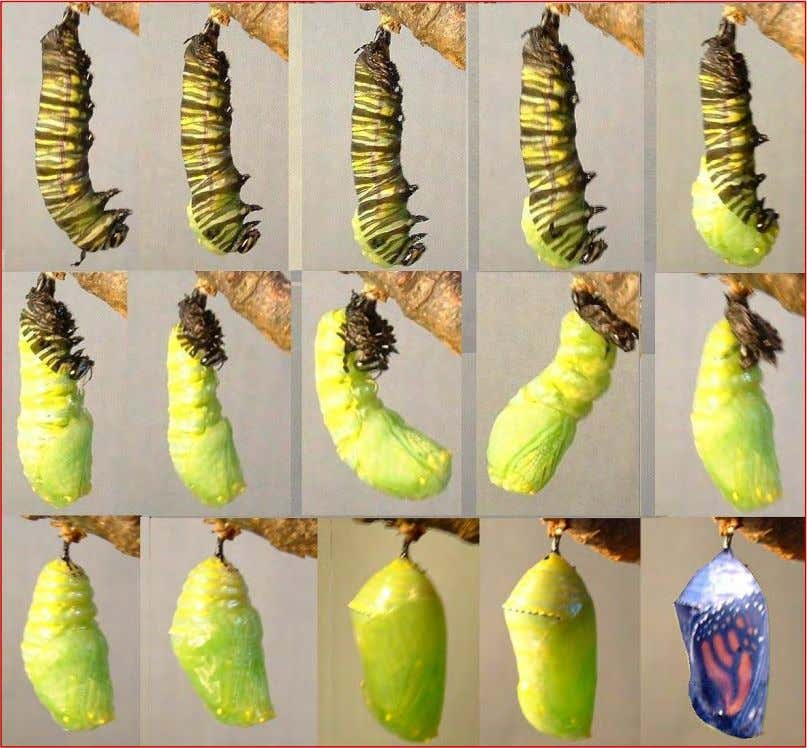 continued…. Larvae to pupae sequence photos by Nigel Venters Page 5 By Linda Rogers – Butterfly