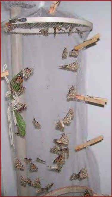 Lady butterflies laying eggs on green plants hanging in cage! Page 7 By Linda Rogers –
