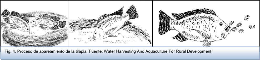 Fig. 4. Proceso de apareamiento de la tilapia. Fuente: Water Harvesting And Aquaculture For Rural