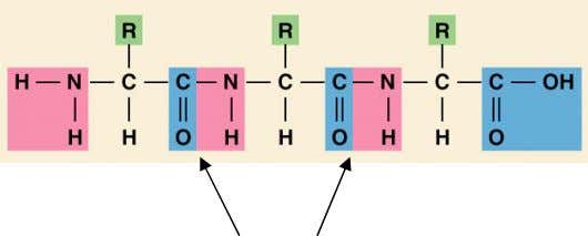 amino groups of two adjacent amino acids. + 2 H 2 O + Peptide linkages Esential