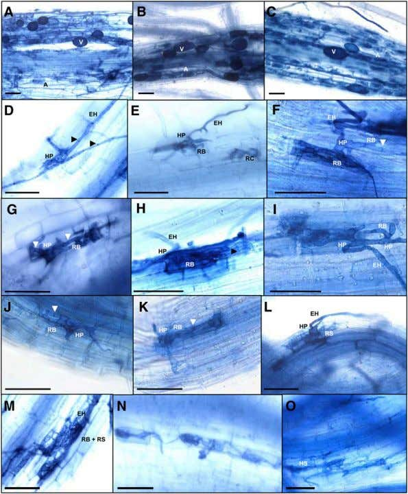AM-Specific Signaling in Rice 2997 Figure 6. AM Phenotypes of Rice sym Mutants. Trypan blue staining
