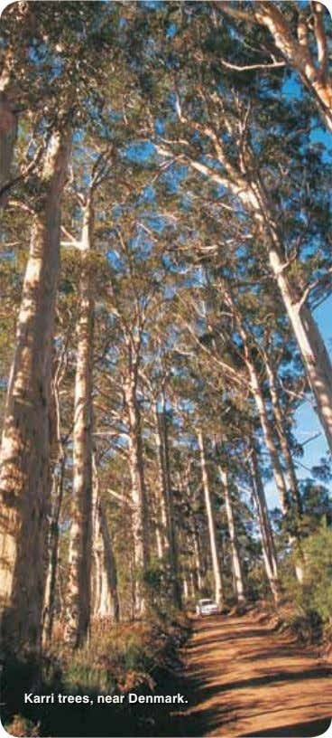 Karri trees, near Denmark.