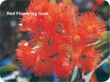 Red Flowering Gum.
