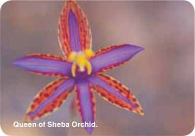 Queen of Sheba Orchid.