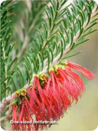 One-sided bottlebrush.