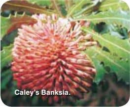 Caley's Banksia.