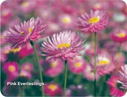 Pink Everlastings.
