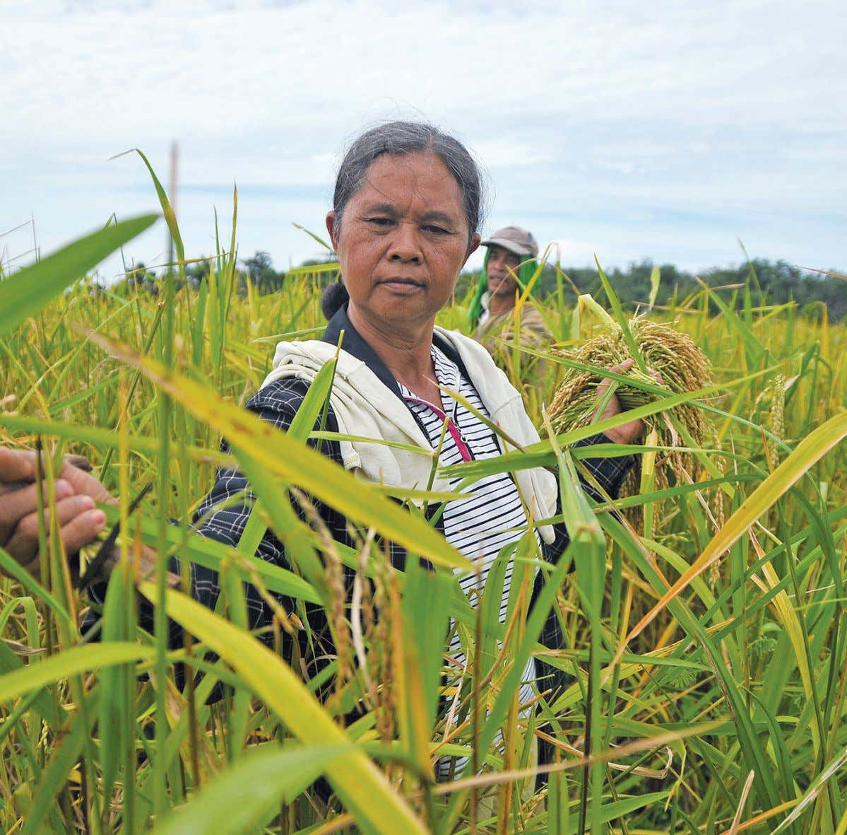 » A farmer harvests rice, Philippines' main crop. ROY LAGARDE VOLUME 50 • NUMBER 08 1