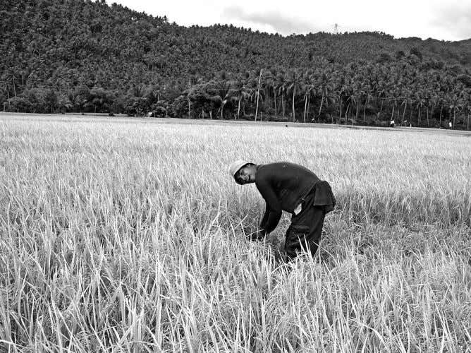 in times past the Philippines has become a net agricultural A farmer harvests crops in a