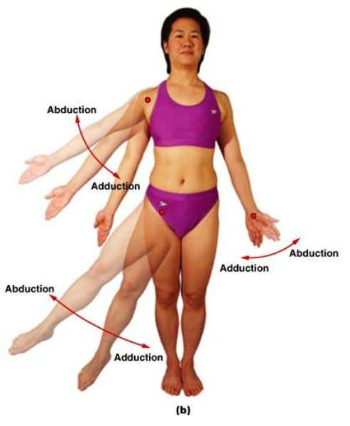 Abduction/Adduction • Angular motion in frontal plane • Abduction moves away from longitudinal axis • Adduction
