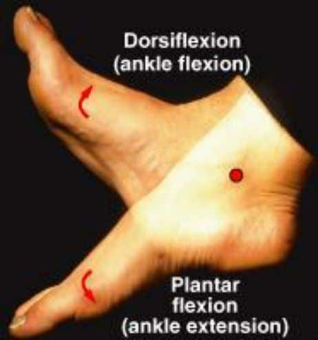 Dorsiflexion and Plantar Flexion • Dorsiflexion: – flexion at ankle (lifting toes) • Plantar flexion: –