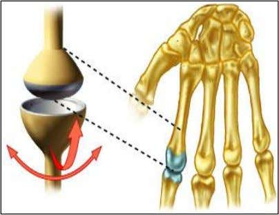 "• Pivot joints – bone protrudes into a ""sleeve,"" or ring, composed of bone (and possibly"
